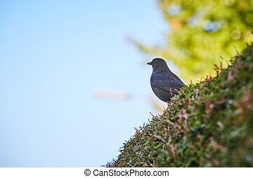 Blackbird sitting on a bush in front of the blue sky
