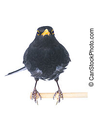 blackbird (Turdus merula) isolated on a white background