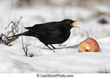 Blackbird, Turdus merula, single male eating apple in the ...