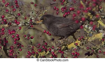 Blackbird, Turdus merula, single male eating hawthorn ...