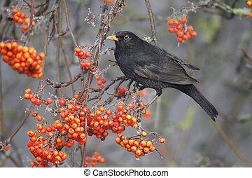 Blackbird, Turdus merula, single male on rowan berries, ...