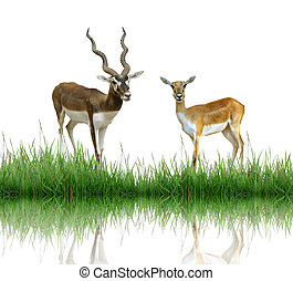 blackbuck with green grass isolated