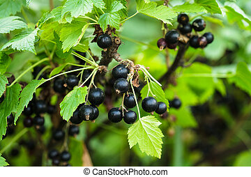 Blackcurrant bush - Black currant bush, close up the berries