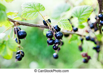 Blackcurrant growing in home garden