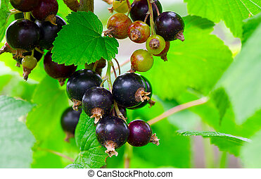 blackcurrant in the garden