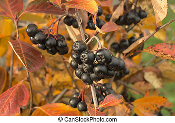 Blackenning rowanberry on background autumn sheet