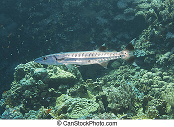 blackfin, barracuda, arrecife