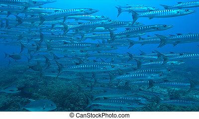 Blackfin Barracudas on a Coral reef