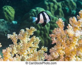 blackfin, pez, damisela, coral