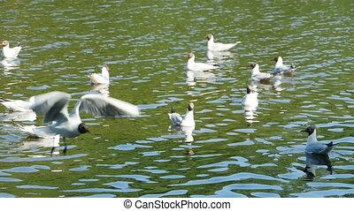 Blackhead Gull fly, slow motion