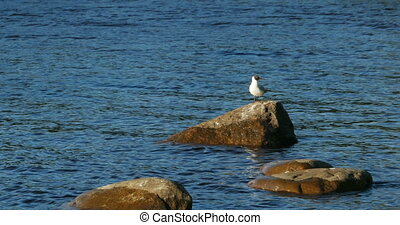 Blackhead gull stands on a stone against the blue sea