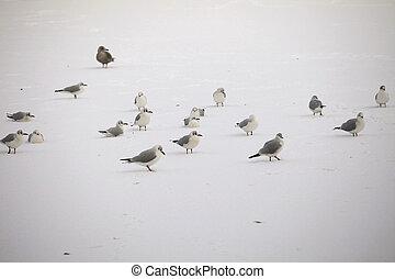 Blackhead seagulls on frozen pond