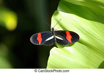 black/red, papillon