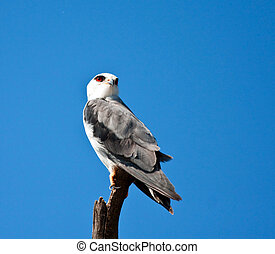 Blackshouldered kite sitting on a branch against a bright blue sky