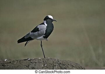Blacksmith plover, Vanellus armatus