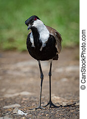 Blacksmith plover with cocked head on gravel