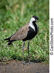 Blacksmith plover with head cocked beside grass
