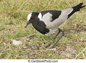 Blacksmith plover with its eggs