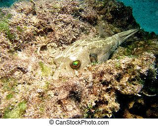 blackspotted, pufferfish
