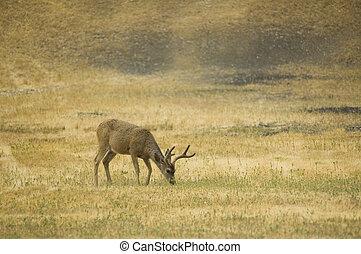 Blacktail buck eating - California Blacktail bucks browsing ...