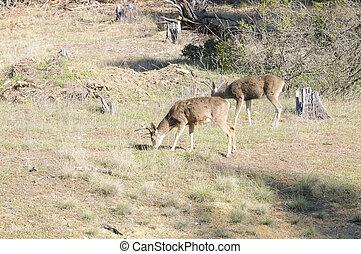Blacktail bucks eating - 2 California Blacktail bucks ...
