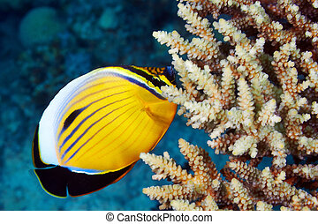 Blacktail Butterflyfish (Chaetodon austriacus) and coral in ...