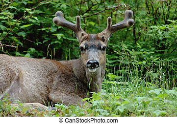 Blacktail Deer Chewing Cud sitting down on a ridge
