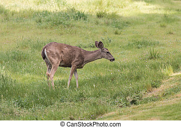 Blacktail Deer Doe - a blacktail deer doe in lush green ...