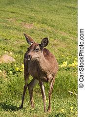 Blacktail Deer Doe - a blacktail deer doe standing in a ...