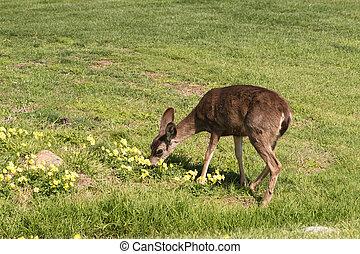 Blacktail Deer Doe Grazing - a blacktail deer doe grazing ...