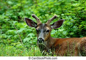 Blacktail Deer Spiker - Blacktail Deer juvenile spiker ...