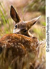 Blacktail Fawn Fort Casey State Park, Washington State