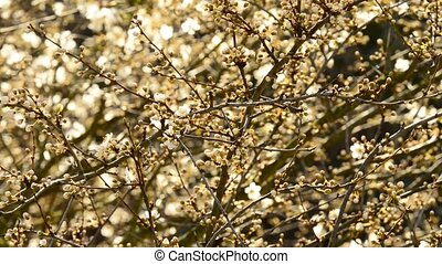 Blackthorn blossom in spring
