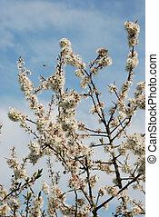 Blackthorn flowers against a blue sky.