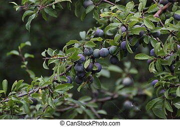 Blackthorn Fruits