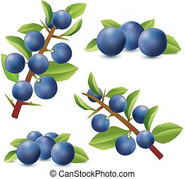 Blackthorn or Sloe berries isolated on white background....