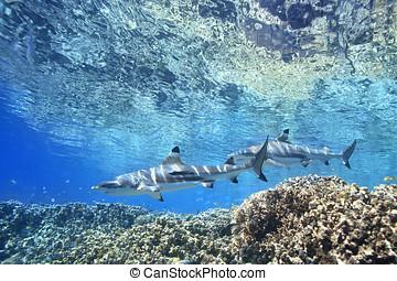 blacktip, 礁石, 鯊魚