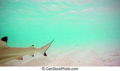 Blacktip Reef Shark Approaches Camera in the Maldives, with...