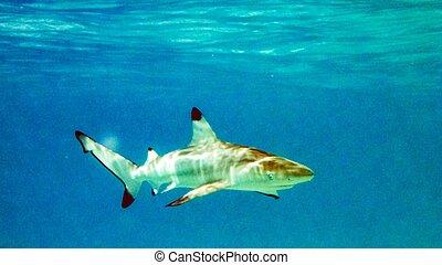 Blacktip reef shark (Carcharhinus melanopterus) in the shallow water, Maldives.