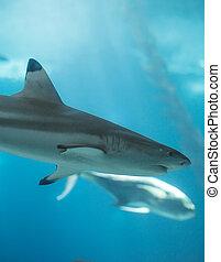 Blacktip reef shark swimming in the sea.