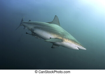 A close up on a blacktip shark swimming by, Kwa Zulu Natal, South Africa