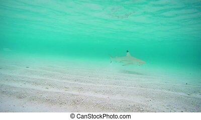 Blacktip Shark Hunting near Beach off Fihalhohi Island -...
