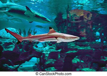 Blacktip shark or carcharhinus limbatus behind glass of  marine aquarium in Russian city of St. Petersburg.