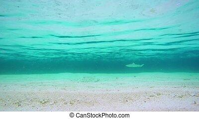 Blacktip Shark Patrols near Beach in the Maldives, with...
