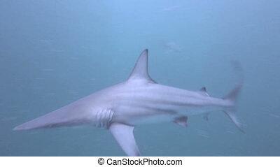 Blacktip Sharks around bait