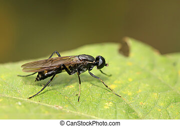blackwater gadfly - a blackwater gadfly on a green leaf