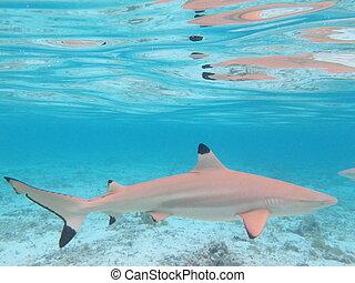 Blactip Sharkin Colorful Lagoon of Bora Bora, French...