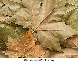 blad, esdoorn, achtergrond
