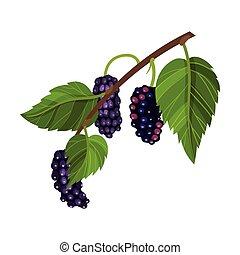 blad, fully, vektor, moden, branch, berries, mulberry, sort...