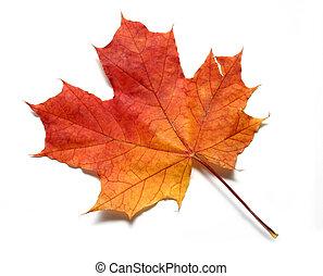 blad, gele, esdoorn, rood